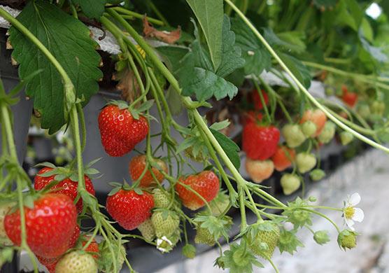 Fruitteelt - Werkgebieden - Goesten en Opdam